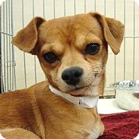Adopt A Pet :: Bender - Las Vegas, NV
