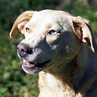 Adopt A Pet :: Scarlet - Marion, NC
