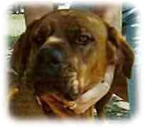Bullmastiff Dog for adoption in North Port, Florida - Megan