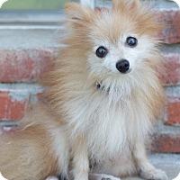 Adopt A Pet :: Winston - Cleveland, OK