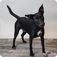 Adopt A Pet :: Dallas-Diamond Dog $75 Adoption Fee - Rockwall, TX