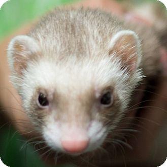 Ferret for adoption in Balch Springs, Texas - Stella