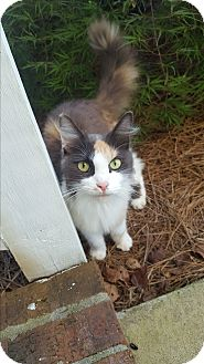 Calico Cat for adoption in Parkton, North Carolina - Hana
