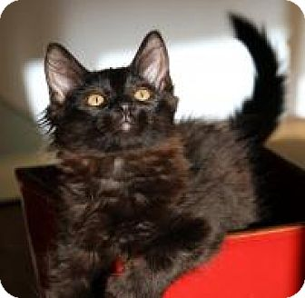 Maine Coon Kitten for adoption in San Carlos, California - Truffle