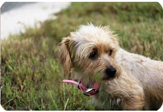 Yorkie, Yorkshire Terrier Mix Dog for adoption in Von Ormy, Texas - Molly