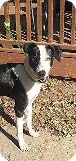 Bearded Collie/Hound (Unknown Type) Mix Dog for adoption in Summerville, South Carolina - Abby