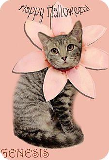 Domestic Shorthair Kitten for adoption in East Brunswick, New Jersey - Genesis