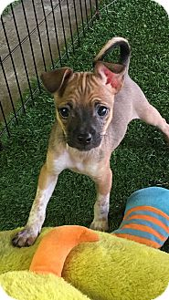 Chihuahua/Yorkie, Yorkshire Terrier Mix Puppy for adoption in Carson, California - WENDY