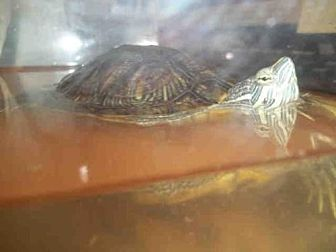 Turtle - Other for adoption in Burbank, California - A065964