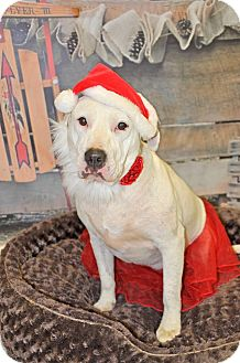 Pit Bull Terrier/Labrador Retriever Mix Dog for adoption in WESTMINSTER, Maryland - Mena