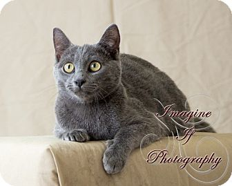Domestic Shorthair Cat for adoption in Crescent, Oklahoma - Kainan