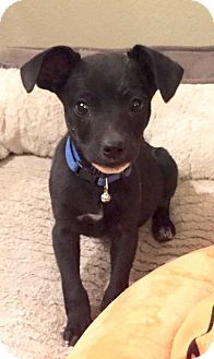 Jack Russell Terrier/Chihuahua Mix Puppy for adoption in Denver, Colorado - Pacheco