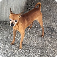 Chihuahua Dog for adoption in Key Biscayne, Florida - Bendito