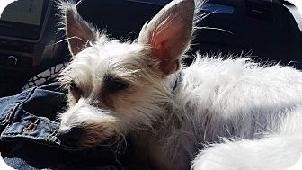 Terrier (Unknown Type, Small) Mix Dog for adoption in Monrovia, California - Spin