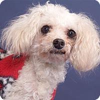 Adopt A Pet :: Louie - Sudbury, MA