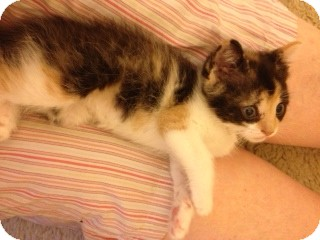 Domestic Shorthair Kitten for adoption in Huntsville, Ontario - Jill - Born in October 2012!