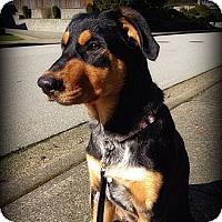 Adopt A Pet :: Shae - Surrey, BC
