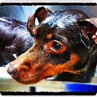 Adopt A Pet :: Buffy - Huntington Beach, CA