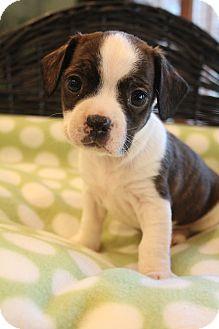 Barkley | Adopted Puppy | Allentown, PA | Boston Terrier/Dachshund Mix