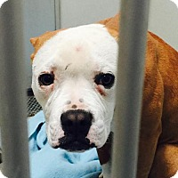 Adopt A Pet :: A28509967 is in DANGER at the Valley Oak SPCA - Beverly Hills, CA
