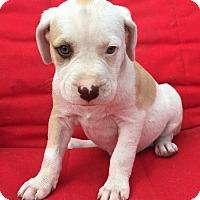 Adopt A Pet :: Olivia - St Petersburg, FL