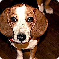 Adopt A Pet :: Ozzie - Houston, TX