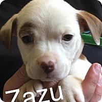 Adopt A Pet :: Zazu - Charlotte, NC
