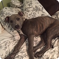 Adopt A Pet :: Violet - Austin, TX