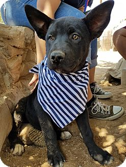 German Shepherd Dog Mix Puppy for adoption in Apple Valley, California - Squirtle of The Poke Squad- ADOPTED 10/23/16!