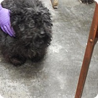 Poodle (Miniature) Mix Dog for adoption in Pikeville, Kentucky - Afro