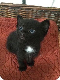 Domestic Shorthair Kitten for adoption in Oak Lawn, Illinois - Nikki