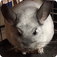 Chinchilla for adoption in Baltimore, Maryland - Hershey & Marshmallow