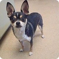 Chihuahua Mix Dog for adoption in Apple Valley, California - Pepe #128471