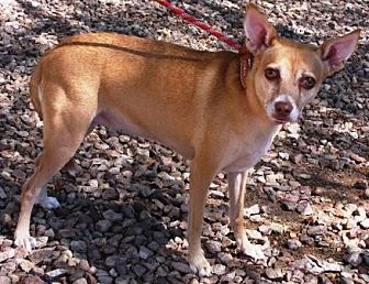Basenji/Terrier (Unknown Type, Medium) Mix Dog for adoption in Gilbert, Arizona - Jovi