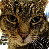 Adopt A Pet :: Chester *Declawed* - Toronto, ON