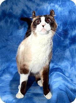 American Curl Cat for adoption in Salt Lake City, Utah - Max