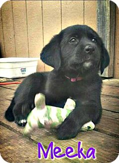 Great Pyrenees Puppy for adoption in Killeen, Texas - Meeka