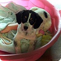 Adopt A Pet :: Peppermint Patty - Waco, TX
