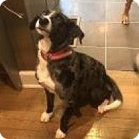 Adopt A Pet :: Kit Kat - pending - Manchester, NH