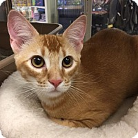 Adopt A Pet :: Shere Khan - Fort Worth, TX