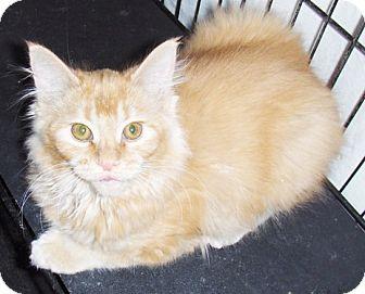 Polydactyl/Hemingway Kitten for adoption in Glendale, Arizona - Rocket