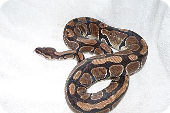 Snake for adoption in Richmond, British Columbia - Sapphire