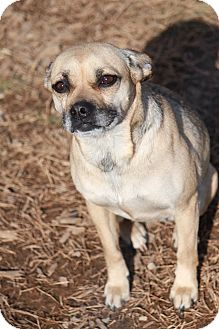 Pug Mix Dog for adoption in Russellville, Kentucky - Elise