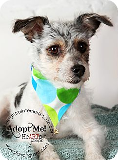 Jack Russell Terrier/Yorkie, Yorkshire Terrier Mix Dog for adoption in Omaha, Nebraska - Bentley