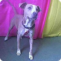 Adopt A Pet :: Bella Girl URGENT - San Diego, CA