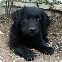 Adopt A Pet :: Coral (Black) - Denver, CO