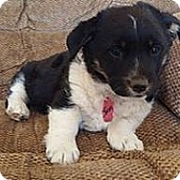 Adopt A Pet :: Sochi - Golden Valley, AZ