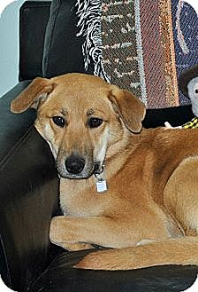 Mountain Cur/Labrador Retriever Mix Dog for adoption in Savannah, Tennessee - Troy