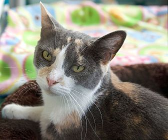 Calico Cat for adoption in St Louis, Missouri - Hvala