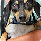 Adopt A Pet :: Moxie the Doxie Mini 1-2 yr old